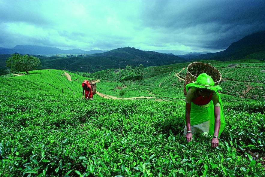 Чайные плантации, Рухуна, Шри-Ланка