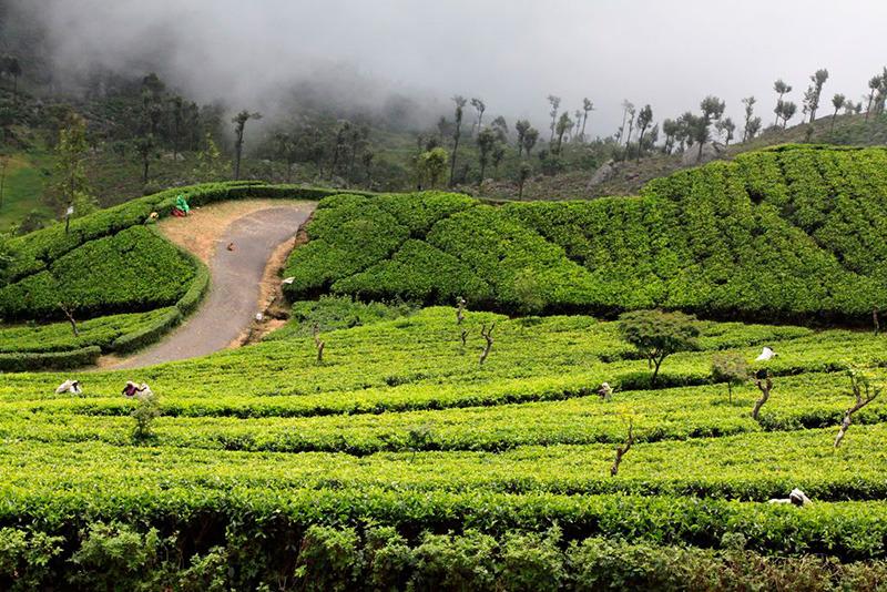 Чайные плантации, Хапутале, Уда-Пусселава, Шри-Ланка
