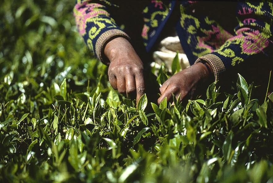 Сбор чая в Нувара-Элия