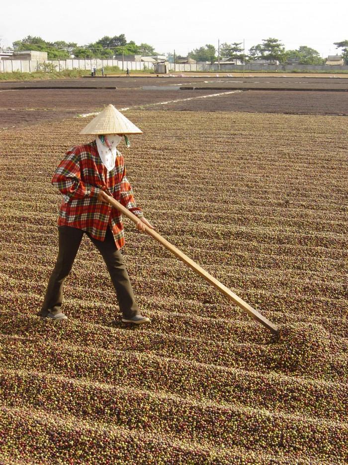 Сухой метод обработки урожая во Вьетнаме