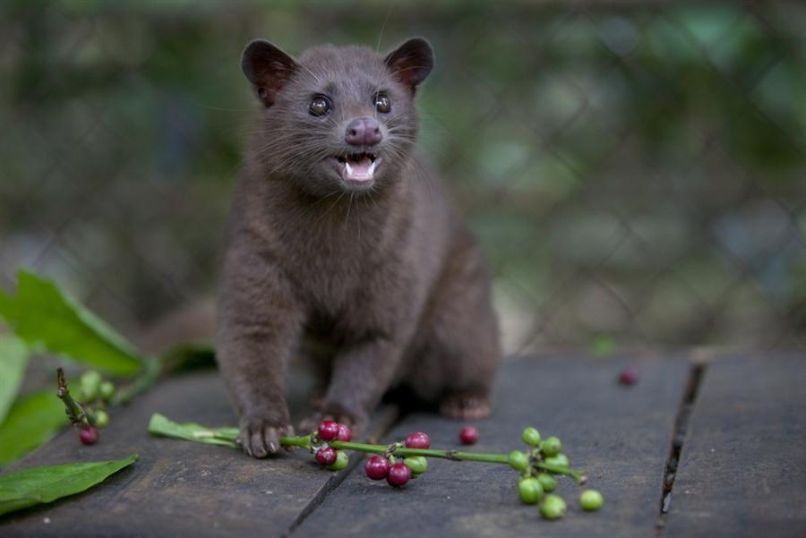Копи лювак производят циветты, поедая кофейные ягоды