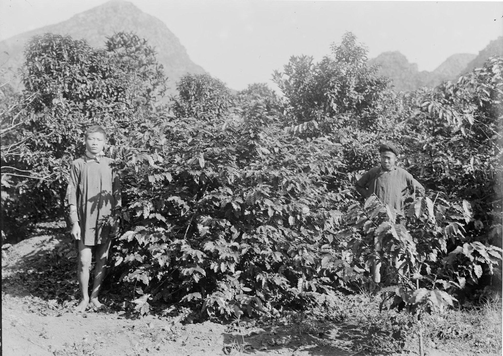 первые кофейные плантации во Вьетнаме