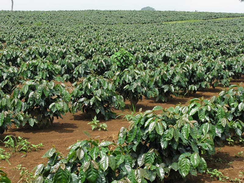 Кофейная плантация в Даклаке, Вьетнам