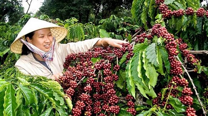 Сбор урожая робусты во Вьетнаме