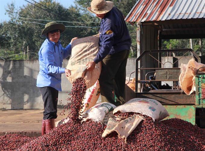 Сбор кофе во Вьетнаме
