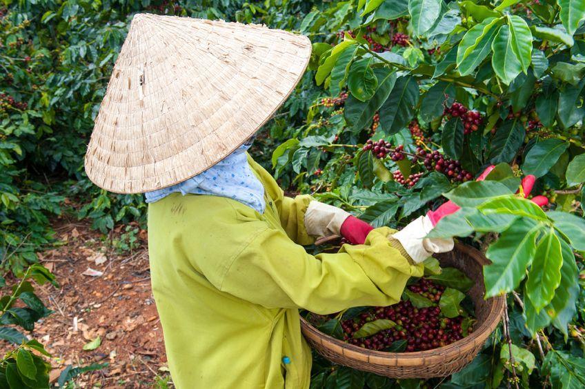 Сбор кофе и вьетнамская шляпа нонла