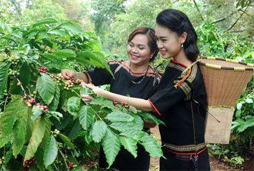 Сбор кофейных ягод во Вьетнаме методом пикинга