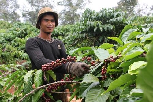 Сбор кофейных ягод во Вьетнаме методом стриппинга